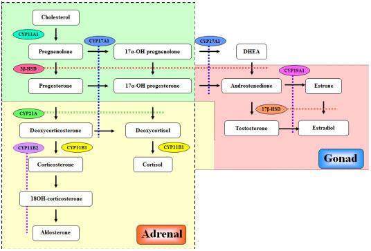 The Steroidogenic Pathways